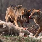 wolvesclothes